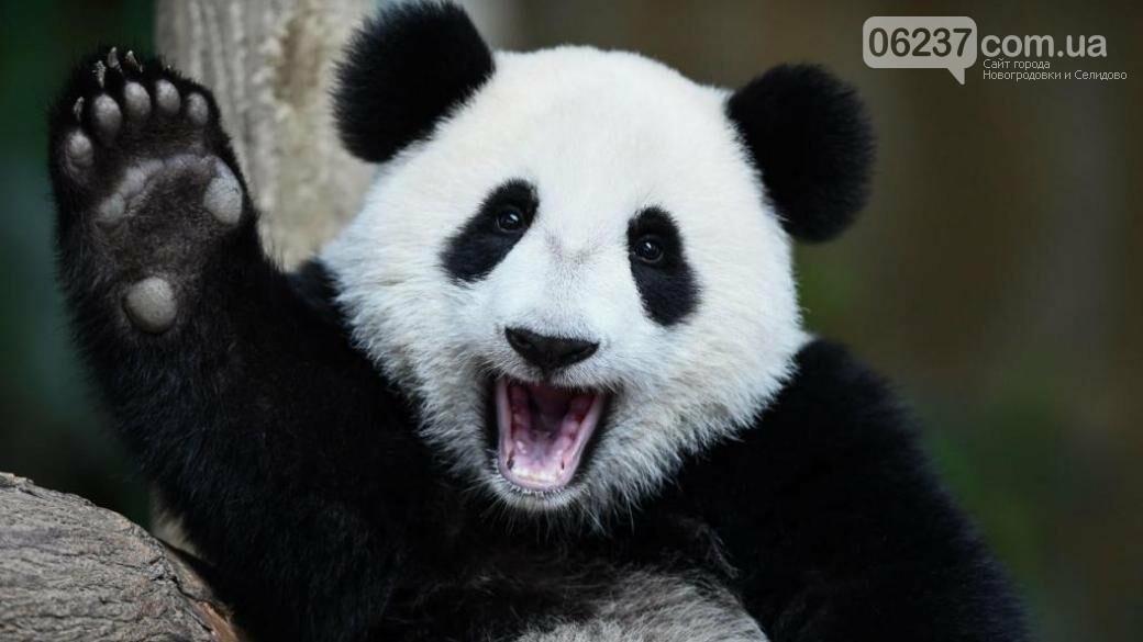 В КНР запретили туристам фотографироваться с пандами, фото-1