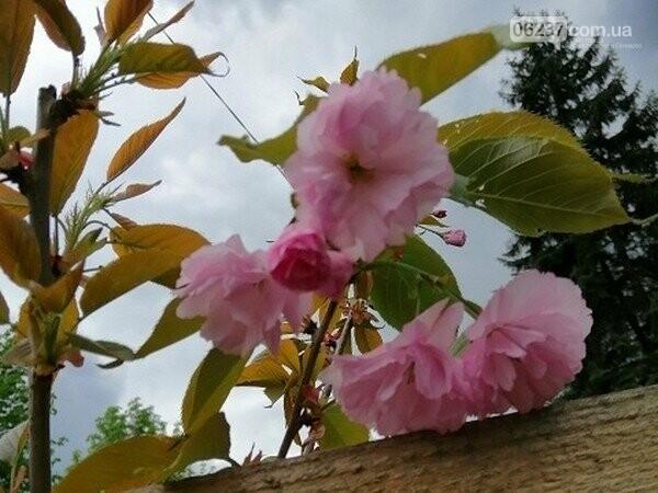 В Горняке впервые зацвели японские сакуры, фото-1