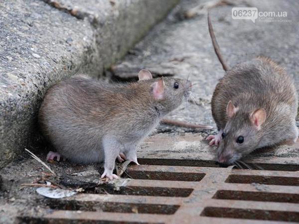 Оккупированный Донецк заполонили крысы, фото-1